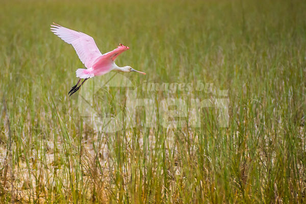 A Roseate Spoonbill in Everglades National Park, Florida