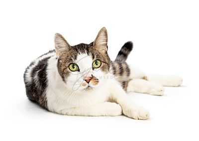 Domestic Shorthair Kitty White Tabby Markings