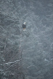 Eagle, Tree, and Snow