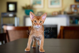 Abyssinian Kitten Standing on Dining Room Table
