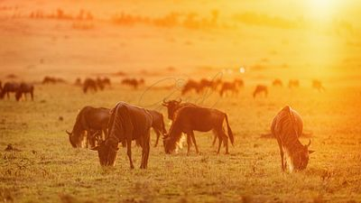 Wildebeest Grazing at Golden Sunset
