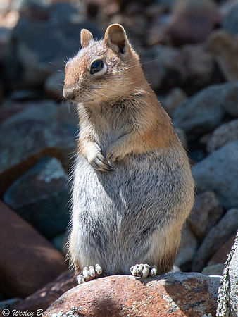 Squirrel Standing on a Rock