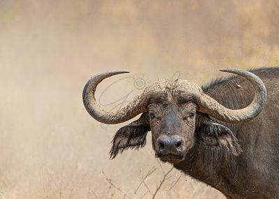 African Cape Buffalo Closeup With Copy Space