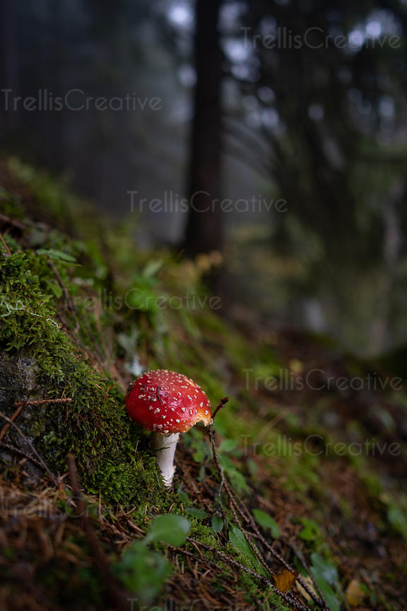 A deadly red death cap mushroom growing from a mossy forest floor.