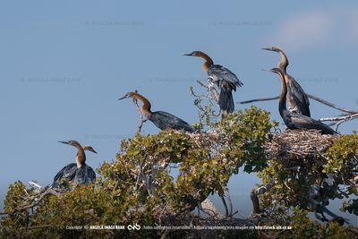 A breeding colony of african darters