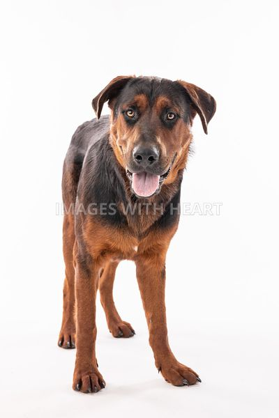Red & black Rottweiler mix looking at camera