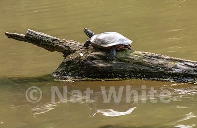 Turtle_Log-5366_May_10_2019_NAT_WHITE