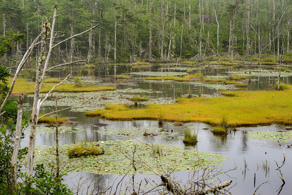 Water Lilies in a large marsh on Cape Breton Island, Nova Scotia.
