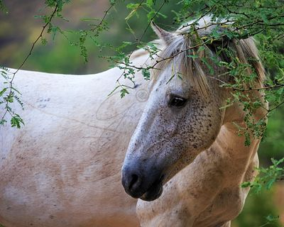 Beautiful White Wild Horse Closeup