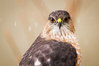 Cooper's Hawk in the Snow
