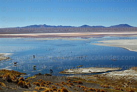 Flamingos and llamas in area of thermal springs, Laguna Colorada, Eduardo Avaroa Andean Fauna National Reserve, Bolivia