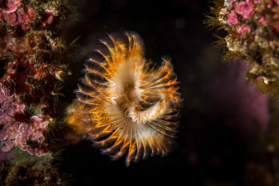 Calcareous Tube Worm, Serpula columbiana.
