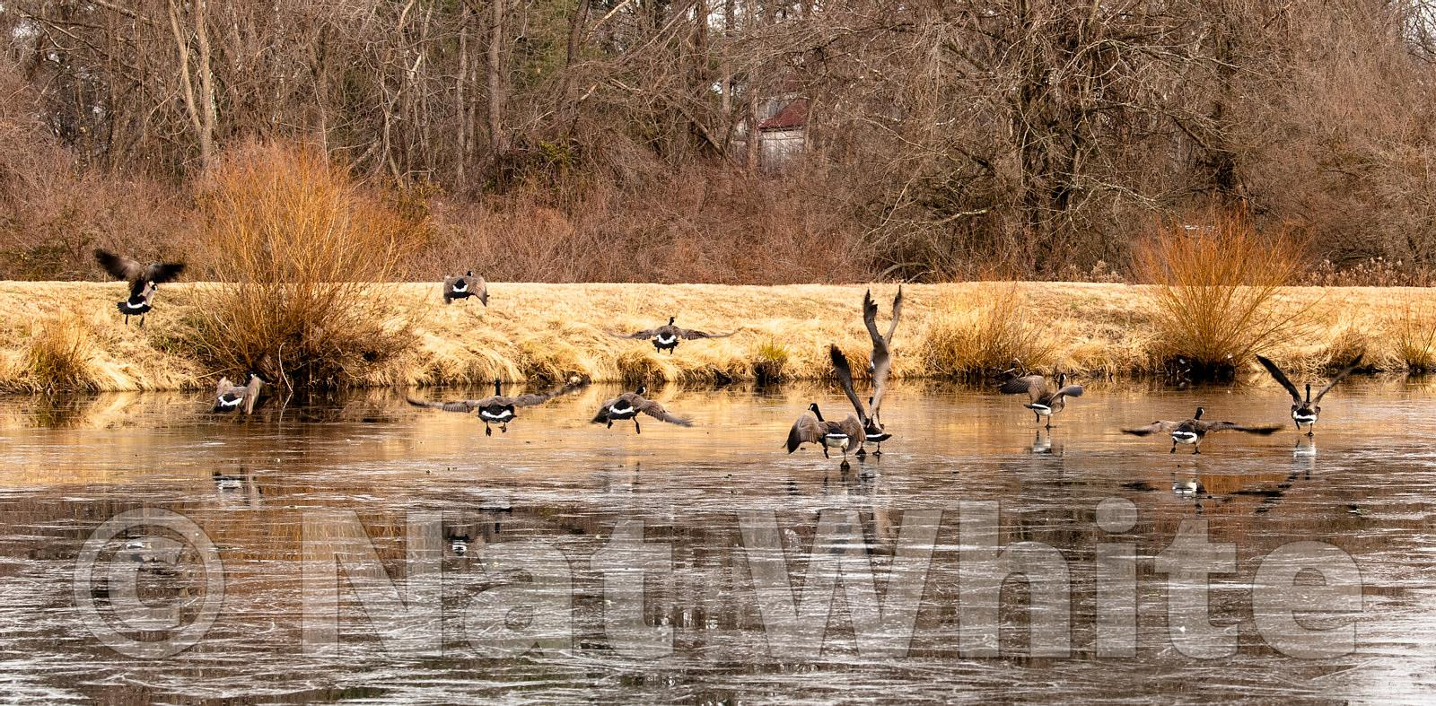 Geese_off_ice_in_flight-December_27_2020_NAT_WHITE