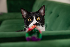Black and White Cat Staring at Toy on Couch