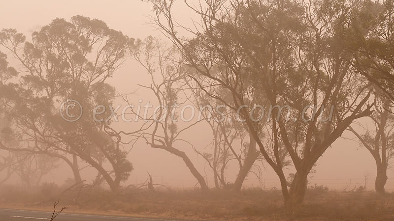 Mallee trees in dust storm.