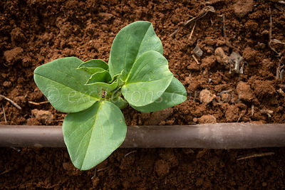Young Broad Bean plant.