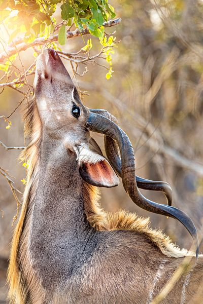 Kudu Eating From Tree in South Africa
