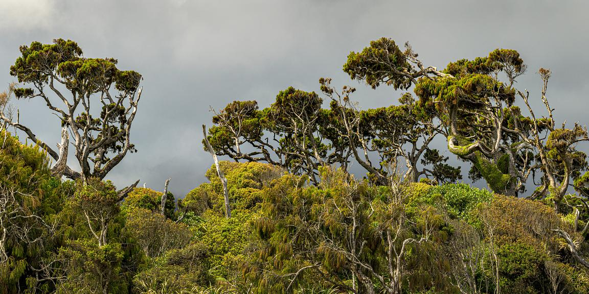 Kahikatea and other coastal vegetation at Ship Creek on the West Coast of New Zealands South Island.