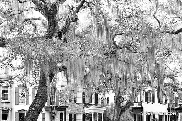 HISTORIC SAVANNAH ARCHITECTURE LIVE OAK TREE SPANISH MOSS SAVANNAH GEORGIA BLACK AND WHITE