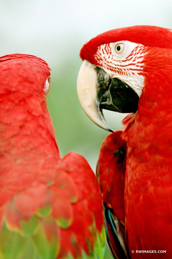 GOSSIPERS | RED GREEN WINGED MACAW