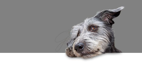 Cute Scruffy Terrier Dog Hanging Over Banner