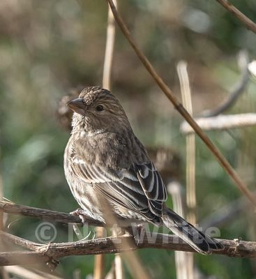 House_Finch-3953_January_10_2021_NAT_WHITE