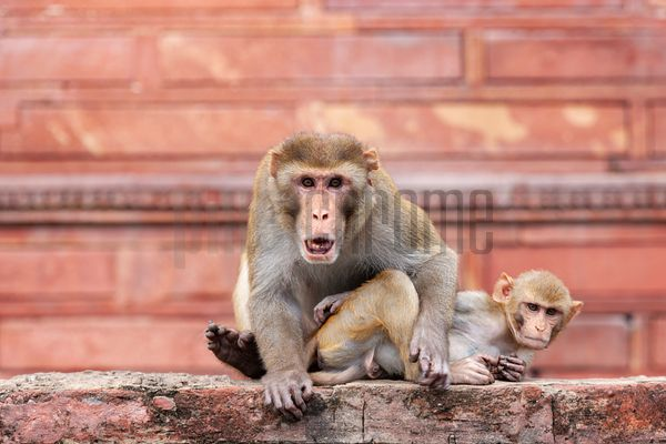 Rhesus Macaque and Young