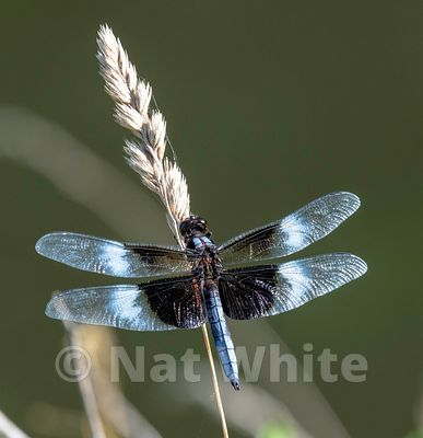 Blue_Tail_Skimmer-Filename_number_suffix-_1June_26_2019_