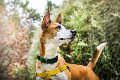 Basenji mix dog outdoors with soft color leafy background