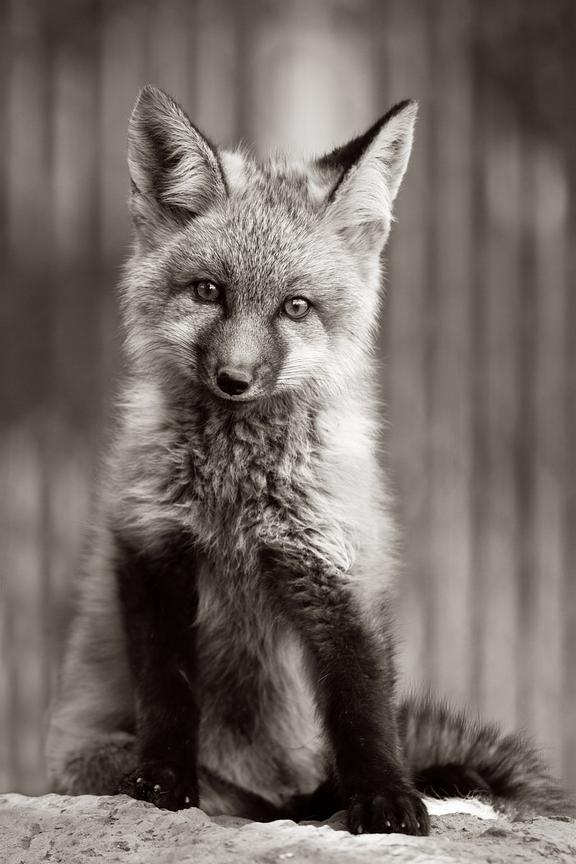 Monochrome Fox Kit.