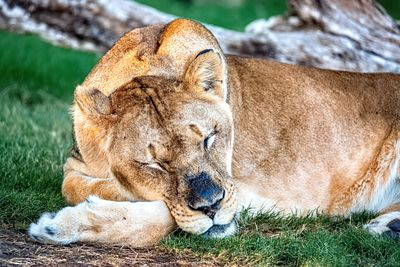 Sleeping Female Lion Resting Head on Arm