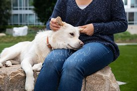 Large White Dog Resting Head on Woman's Lap while She Strokes His Ears