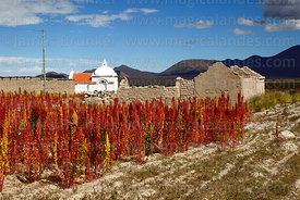 Field of Royal Quinoa / Quinua Real (Chenopodium quinoa), church and abandoned houses in Sivingani, Oruro Department, Bolivia