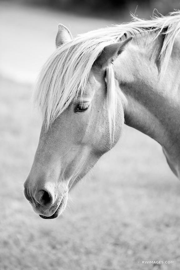 WILD PONY HORSE ASSATEAGUE NATIONAL SEASHORE MARYLAND BLACK AND WHITE VERTICAL