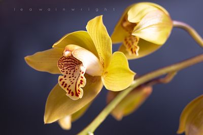 cymbidium orchid on blue