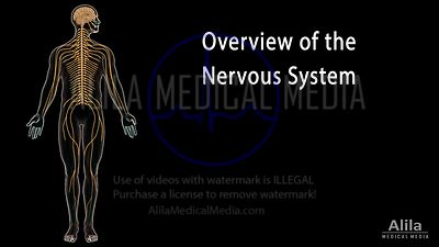 Overview of the nervous system NARRATED animation