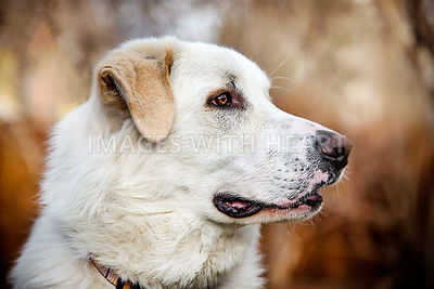 White Dog Profile Closeup with Brown Toned Background