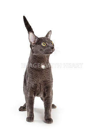 Excited Grey Shorthair Cat Looking Up Into Copy Space