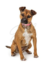 Pet German Shepherd Pit bull dog head tilt full length isolated