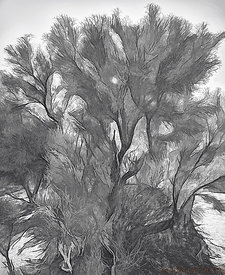 Smoke Tree Abstract