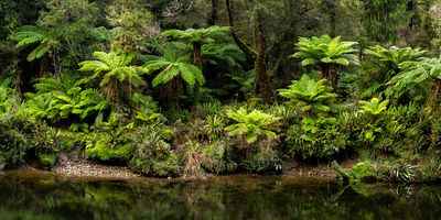Tree Fern, or Ponga, growing along the bank of a stream on the West Coast of New Zealands South Island.
