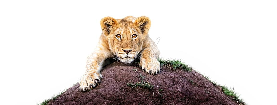 Lioness Cub on Mound White Web Banner