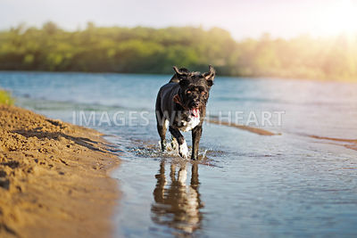 Mixed Breed Dog Running Through Water