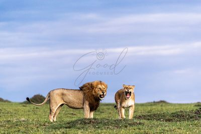 African Lion and Lioness Together Yawning