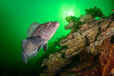 Male Kelp Greenling swimming over rugged rock terrain in Nanoose, BC.
