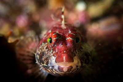 Portrait shot of a Scalyhead Sculpin, Artedius harringtoni. These little fish pack a lot of attitude and vibrant colour.