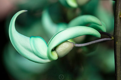 Jade Vine Close