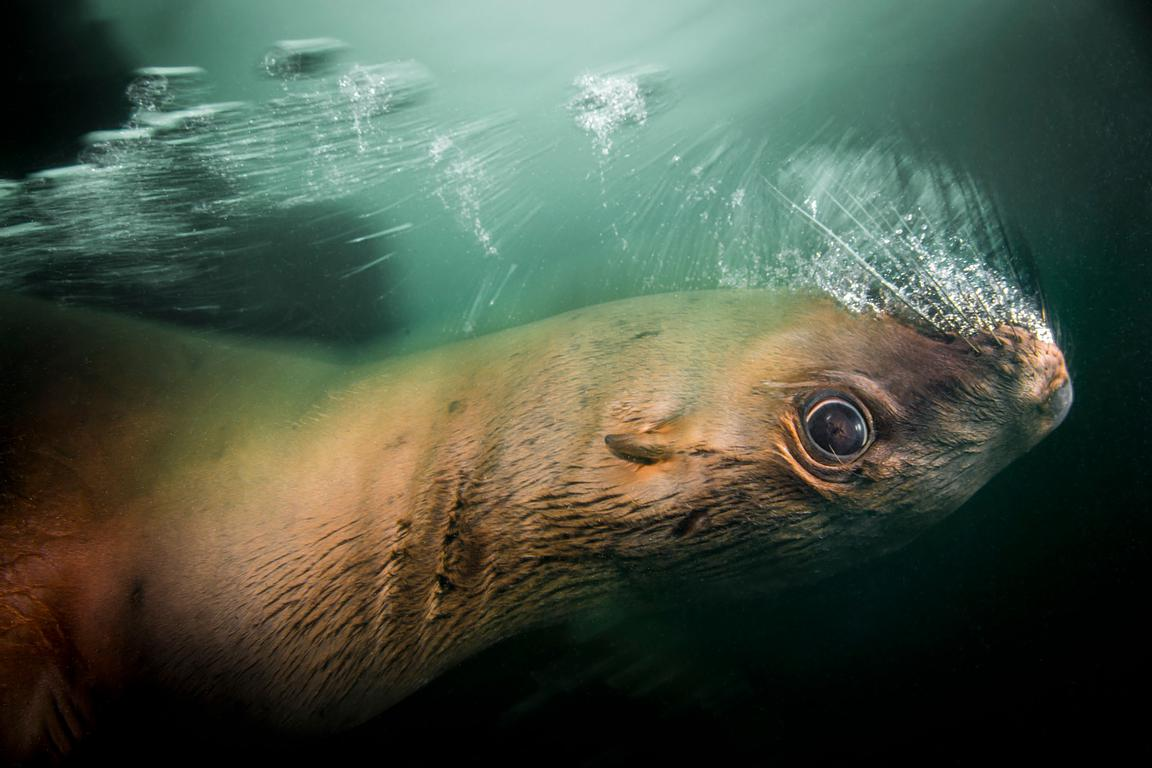 Steller sea lion blowing bubbles underwater as it rushes past.