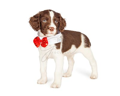 Puppy Wearing Fancy Bow Tie