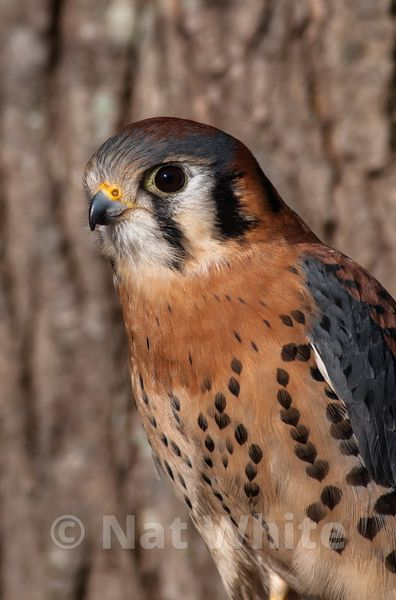 Kestral-Filename_number_suffix-_1March_23_2013_NAT_WHITE